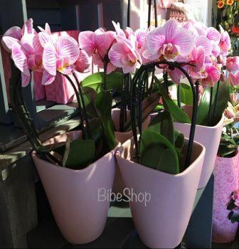 Cserepes Pink, festett phalaenopsis orchidea, kerámia kaspóban