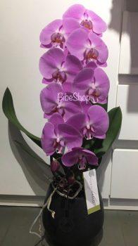 Cserepes Formidablo ( Phalaenopsis orchidea), kerámia kaspóban