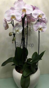 Cserepes Phalaenopsis orchidea kaspóban