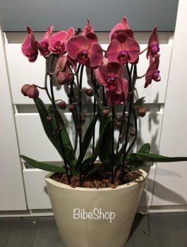 Cserepes Phalaenopsis orchidea 'Terracotta', kerámia kaspóban